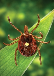 "2006 Dr. Amanda Loftis, Dr. William Nicholson, Dr. Will Reeves, Dr. Chris Paddock This photograph depicted a dorsal view of a female ""lone star tick"", Amblyomma americanum. An Ixodes or ""hard"" tick, A. americanum is found through the southeast and south-central states, and has been shown to transmit the spirochete, Borrelia lonestari, the pathogen responsible for causing a Lyme disease-like rash known as ""Southern tick-associated rash illness"" (STARI). Representatives from all three of its life stages aggressively bite people in the southern U.S.  Research indicates that live spirochetes are observed in only 1-3% of specimens. Note the characteristic ""lone star"" marking located centrally on its dorsal surface, at the distal tip of its scutum. A. americanum ticks are found through the southeast and south-central states. Their life cycle and ecologic requirements are similar to Ixodes ticks with minor exceptions not described here. All three life stages of A. americanum aggressively bite people in the southern U.S. Research indicates that live spirochetes are observed in only 1-3% of A. americanum.Even though spirochetes have been seen in A. americanum  ticks by microscopy, attempts to culture it in the laboratory have consistently failed. Modified BSK (Barbour-Stoenner-Kelly) is the best medium for cultivating the Lyme disease spirochete, B. burgdorferi, but is apparently not suitable for cultivating the spirochete found in A. americanum. However, a spirochete has been detected in A. americanum by DNA analysis, and was given the name Borrelia lonestari."